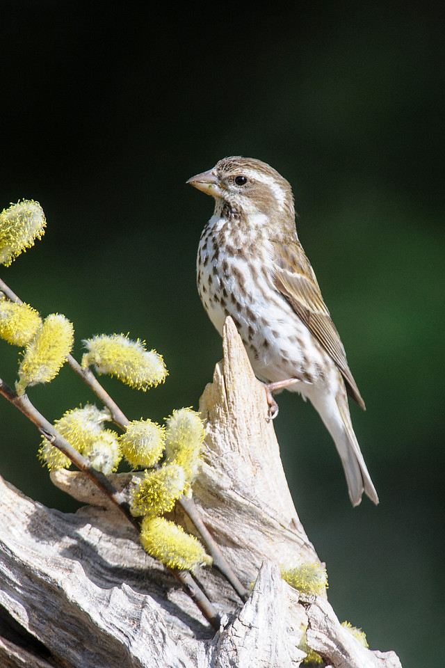 Here's a female Purple Finch.  We've had as many as 3 males and 6 females at our feeders this spring.