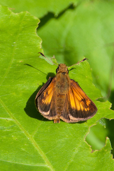 Another skipper I saw in Bayfield was this Hobomok Skipper.  Skippers tend to be small; their wingspan is usually around an inch.