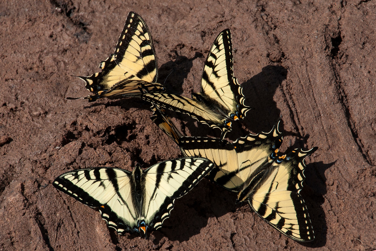 This group of Swallowtails is engaging in an activity called puddling.  Butterflies gather in a moist area like this and get essential nutrients such as salts and amino acids from the soil.
