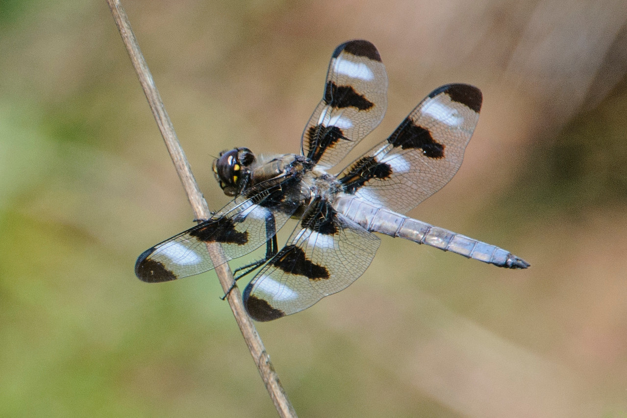 Here's a Twelve-spotted Skimmer; he was defending a tiny pool of water in Cornucopia, WI.  You can tell it's a male because, in addition to the 12 black spots on his wings, he also has 8 white spots.  (The female has 12 black spots, but no white spots.)  He got into some spirited battles with several other skimmers who were trying to take over his territory.  Twelve-spotted Skimmers are found in all of the lower 48 states, the southern edge of Canada, and even into Mexico.