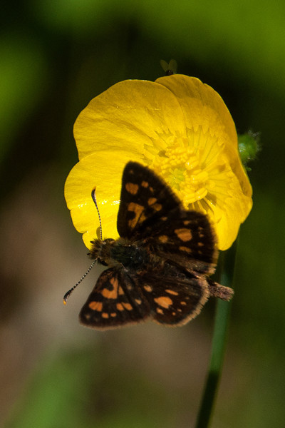 "This is an Arctic Skipper.  Skippers are a group within the larger category of butterflies and there are lots of them.  You can tell this is a skipper because it has ""scoop-like"" antenna.  The ends of the antenna look like inverted spoons."