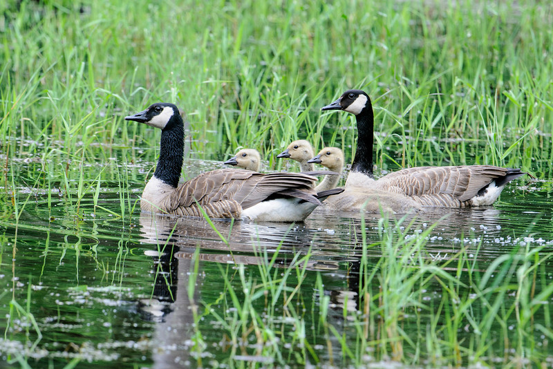These Canada Geese were also in that small pond but I've only seen them there one time. I think they actually nested on another nearby lake.  These babies are a little older so they're past the cute, fuzzy stage.
