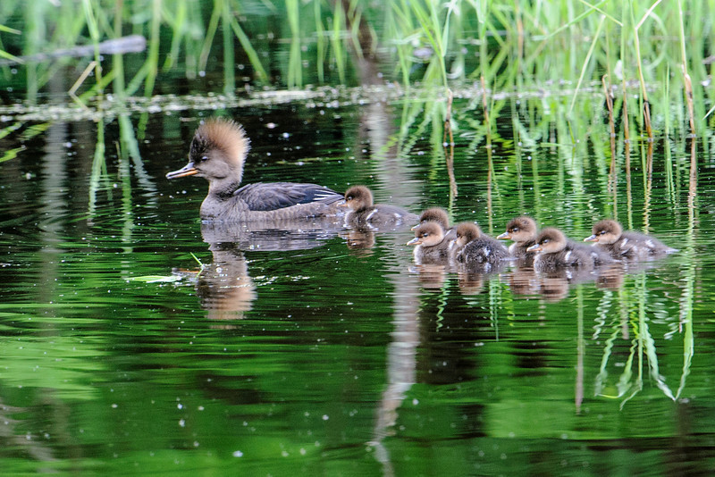 It's that time of year when we start seeing baby birds.  Here is a female Hooded Merganser with her seven ducklings.  They seem to like the small pond beside our driveway and that's where this photo was taken.
