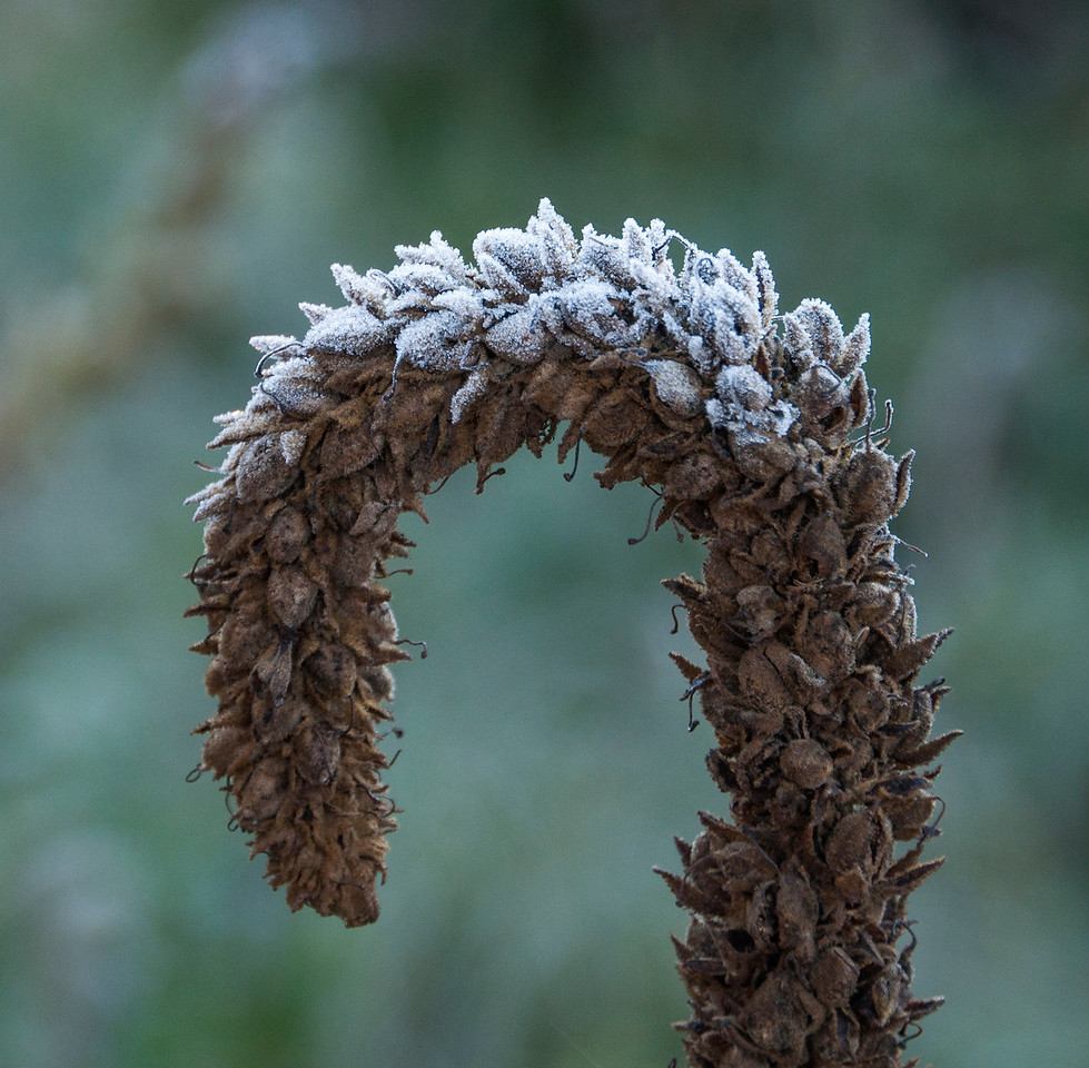 This dried up Mullein plant would usually point straight up in the air.  For some reason, it was bent over like a shepherd's crook.  As a result, only the top surface was frosted.