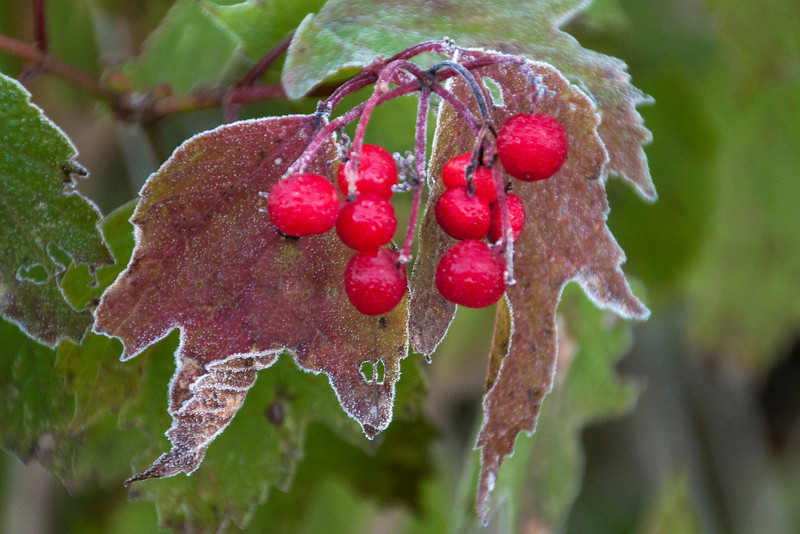 These red berries have small ice droplets on them.  The edges of the leaves are covered with frost.  Even the holes in the leaves are outlined in white.  One part of the leaf has curled over and the back side has more frost than the front side.