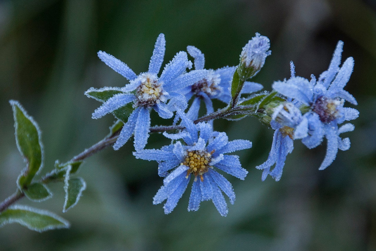 Diana and I just returned from a week on the North Shore of Lake Superior.  I was out early one morning and realized that the temperature had dropped below freezing.  Frost was coating all the plants.  I rushed to take photos before the sun melted everything.  You can see the tiny frozen droplets on the petals of this aster flower.