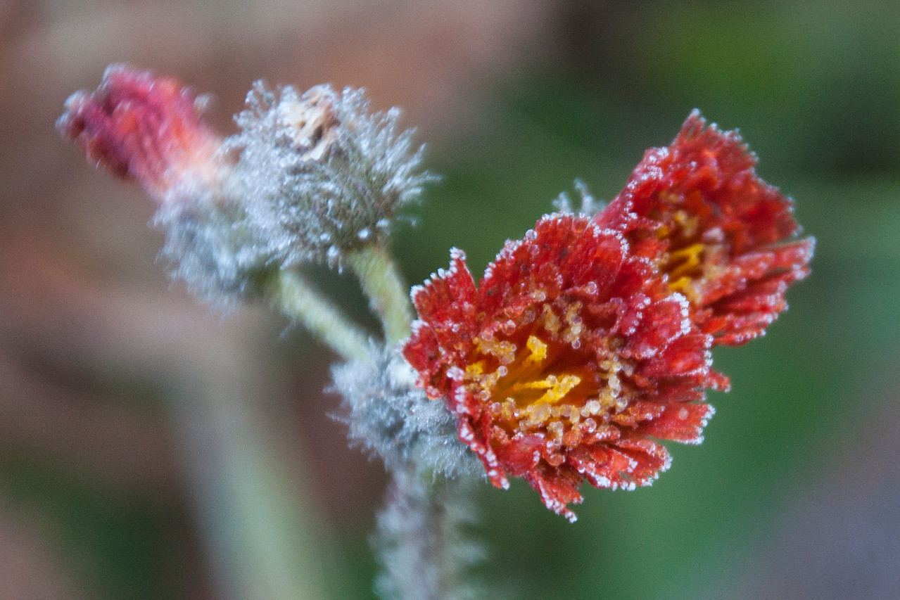 These small flowers are Orange Hawkweed and the petals are edged in ice.