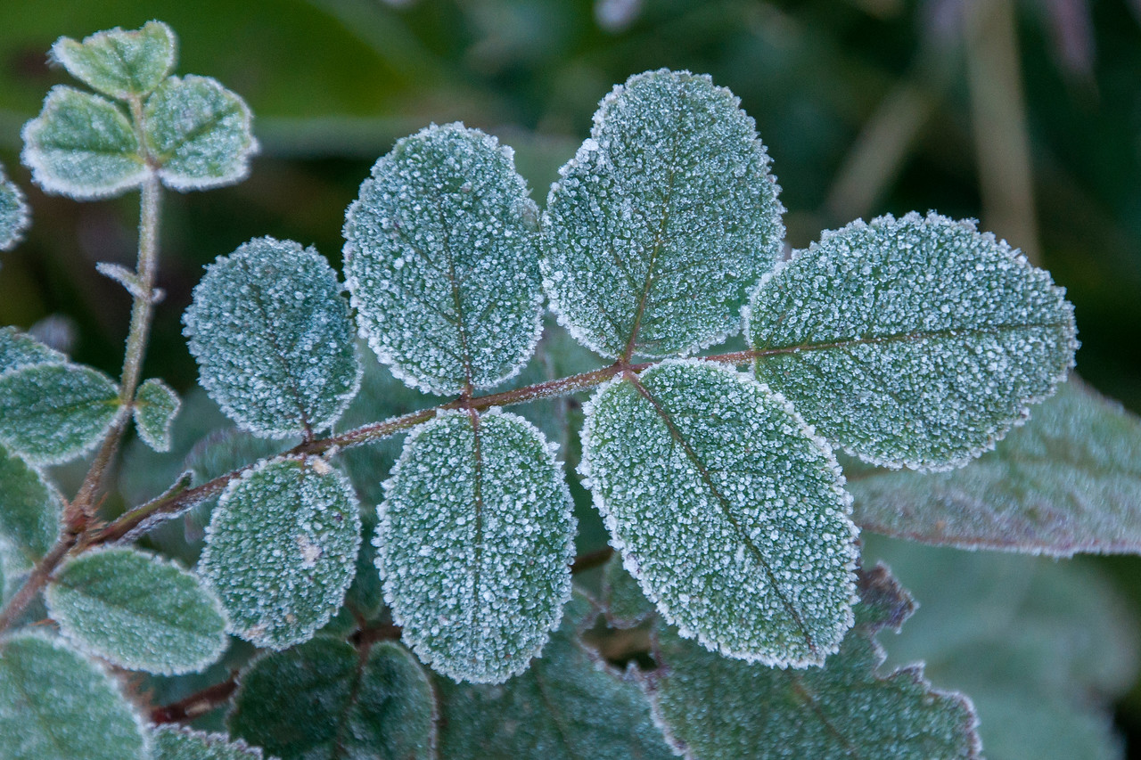 These leaves must have been covered with dew when the temperature dropped below 32 degrees