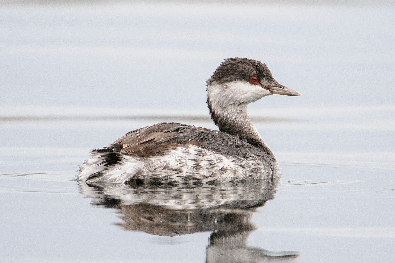 Here's a Horned Grebe in non-breeding plumage.  This photo was taken in Grand Marais, MN, during the month of September.  What a change!  It looks like a different species.  The red eye is consistent, although it gets much brighter during breeding.  The mottled gray and white feathers on the sides of the body are replaced with chestnut-colored feathers.  Even the color of the bill has changed.  But the most dramatic difference is in the feathers on the head.