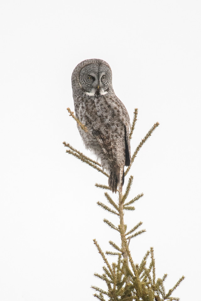 This winter, a few Great Gray Owls were seen in northern Minnesota, but we didn't have a large influx of them like we did several years ago.  Shawn and I saw one Great Gray Owl just before we got to the park but it was still too dark for a photo.  After we left the park, on a county road between Big Fork and Effie, we spotted this Great Gray.  I'm always amazed to see one sitting on top of a thin branch like this because they are the biggest owl species we have.  However, they only weigh about 2 ½ pounds; they're mostly feathers.<br /> <br /> P.S. That day we also saw Northern Shrike, Rough-legged Hawk, Northern Goshawk, Trumpeter Swan, and several Black-billed Magpies.  That's why I said it was such a good birding day.
