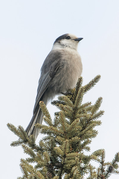 Several Gray Jays were seen during our walk in the park.  They're not a rare species but I always enjoy seeing them.