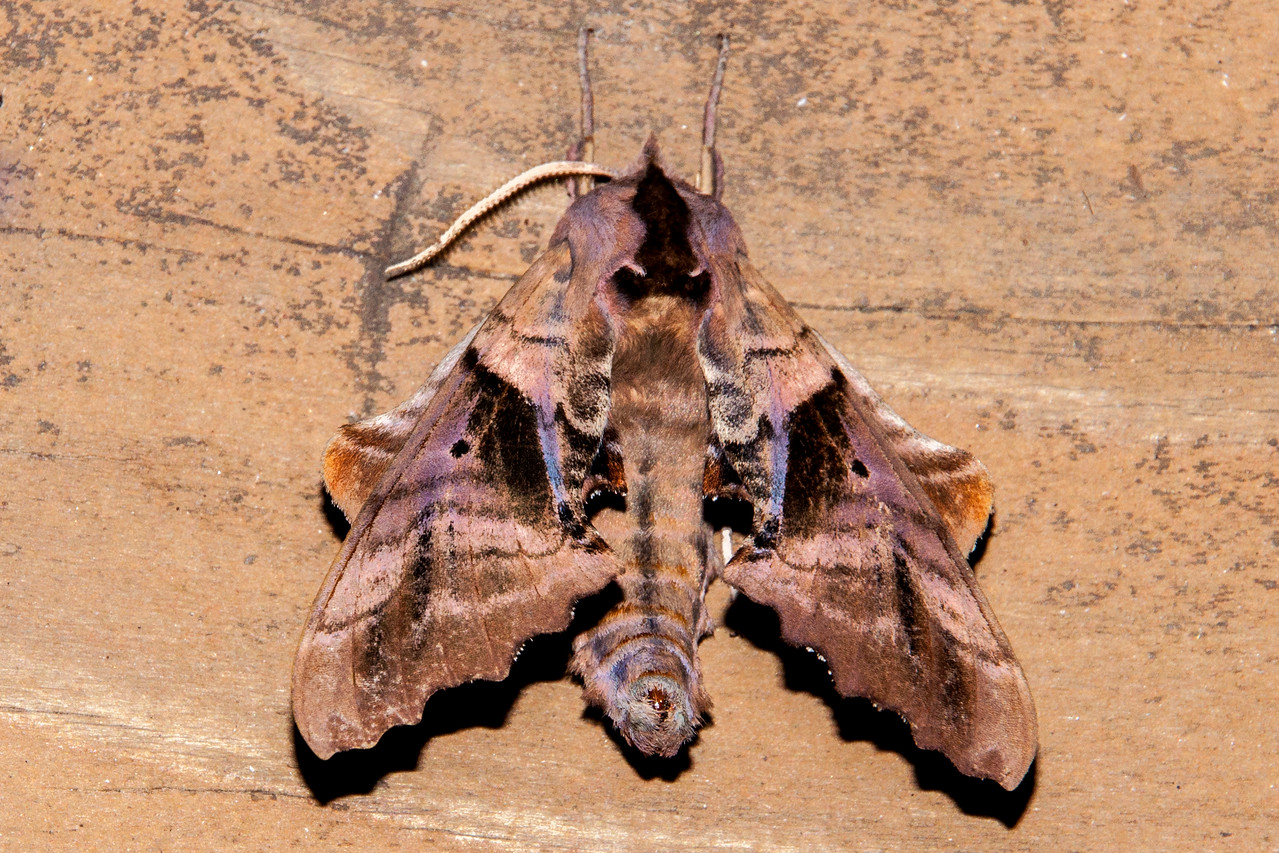 In the previous photo, the Blinded Sphinx Moth has its wings spread apart so you can see both the forewings and the hind wings.  Here the forewings are tucked in so they mostly cover the hind wings.  These moths are found all across the United States and into southern Canada.  They are large, with a wing span up to 4 inches.