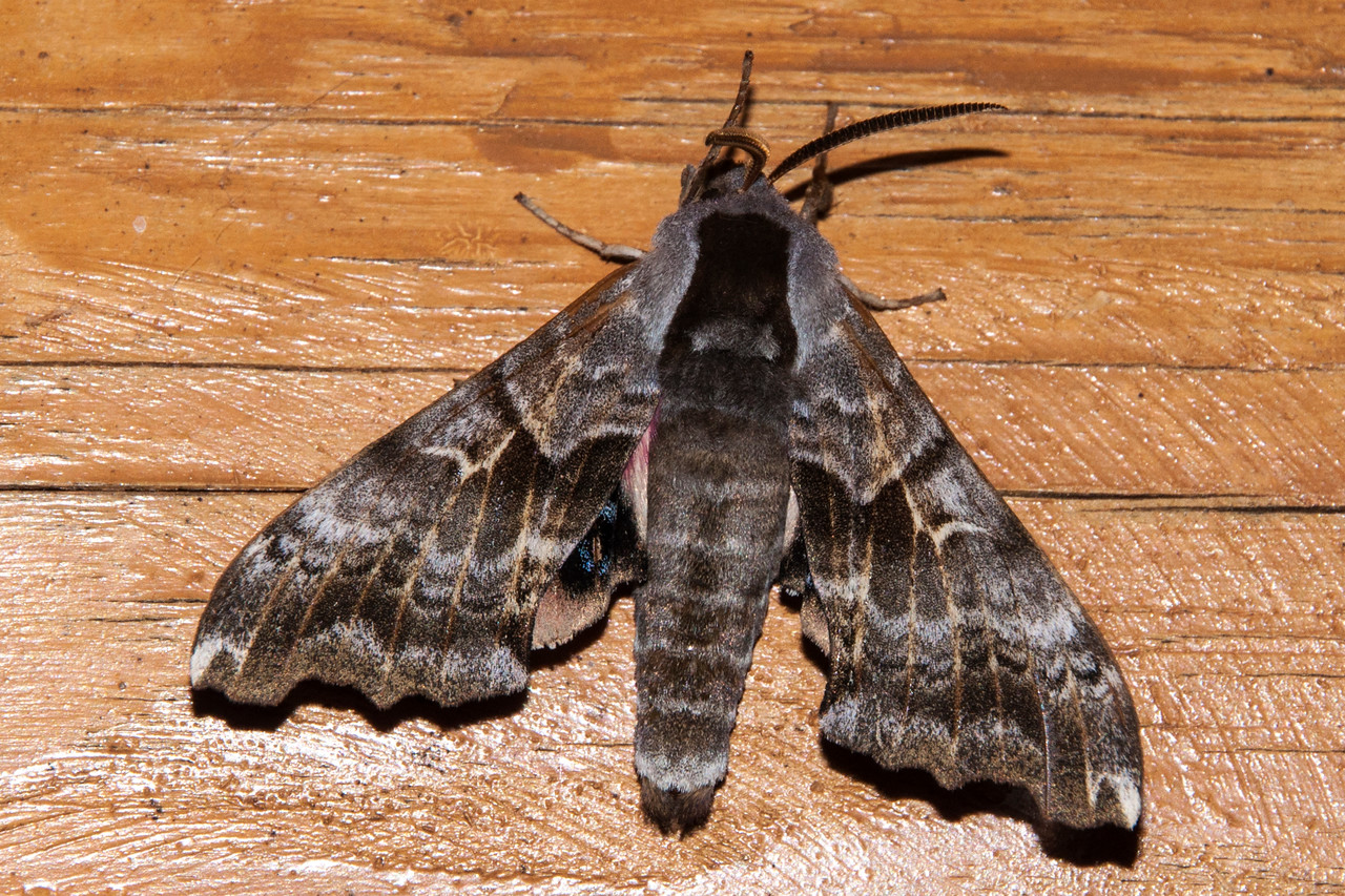 One night, several of these One-eyed Sphinx moths appeared.  I also saw this kind of moth when we were in Bayfield, Wisconsin.  They have a wing span up to 4 inches
