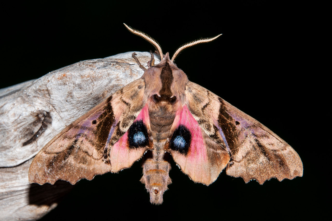 If you mention moths to the average person, they probably think of small, uninteresting, white or gray insects that fly around at night.  There are plenty of those, of course, but there are also some large, spectacular creatures that appear after the sun goes down.  Among the most amazing are the Sphinx moths.  On many summer nights I leave the porch light on at our home in northern Minnesota.  This Blinded Sphinx moth was one of the many moths attracted to the light.  I coaxed it onto a piece of wood to get this photo.