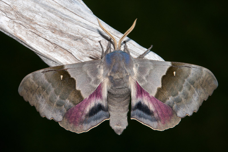 I really like this photo of a Big Poplar Sphinx Moth.  It was very cooperative and climbed right up on this piece of wood so I could take photos.  It has a very soft velvety look and I like the combination of colors.  This is a really big moth with a wing span up to 5 inches.