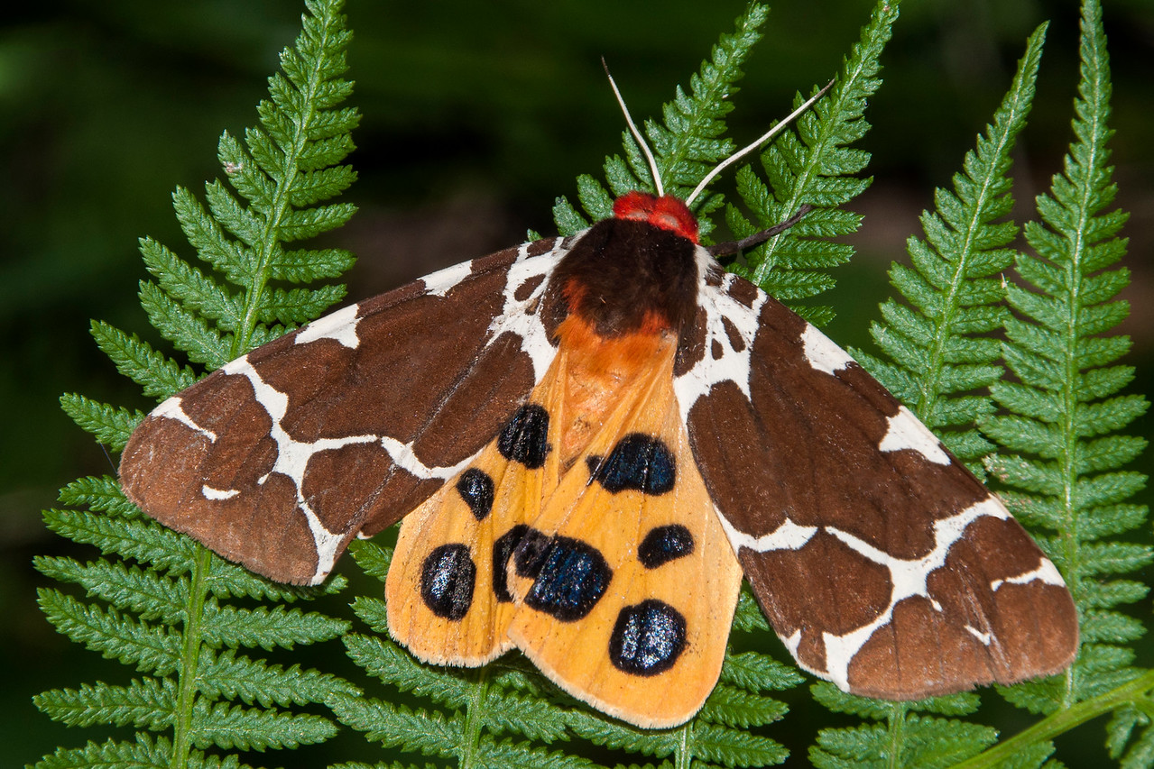 "Here's another beautiful moth, a Great Tiger Moth.  It was attracted to the porch light at our northern Minnesota home.  I was able to move it to these ferns so I could get a better photo.  Last week Bud asked if the ""eye"" spots on Sphinx moths were intended to scare potential predators, and the answer is yes.   Colored hind wings and the spots on Tiger moths serve the same purpose.  I also read that they can produce a toxic yellow froth and make squeaking sounds loud enough to be heard by humans."