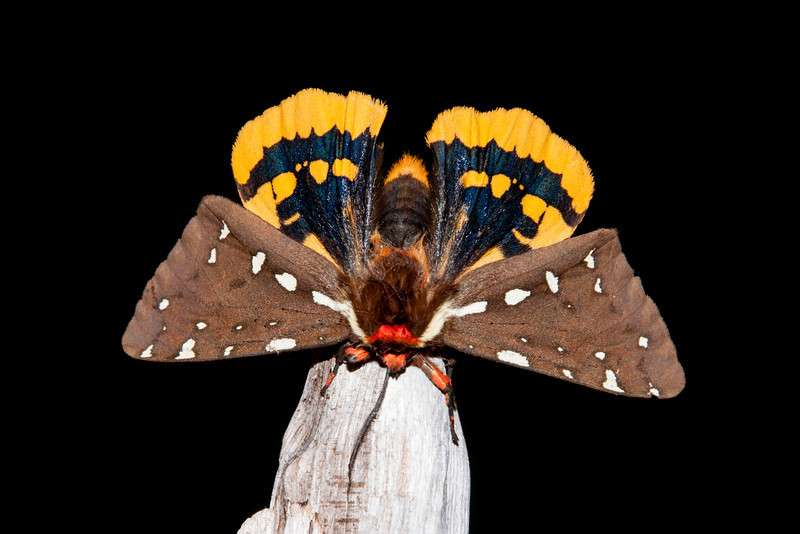 I coaxed the St. Lawrence Tiger Moth onto a piece of wood where it very cooperatively posed for me.  It has a wingspan of 2 to 2½ inches.