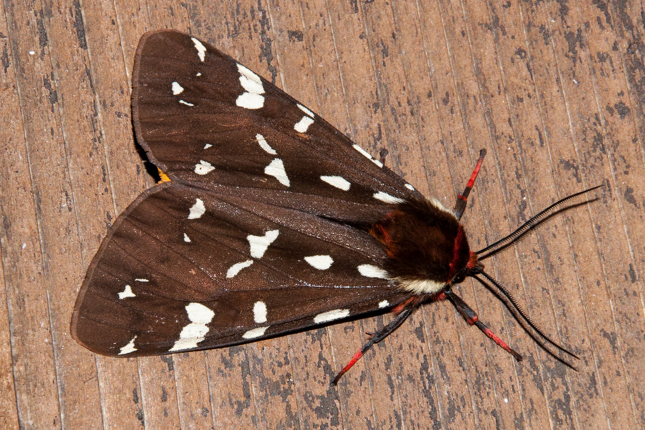 A third member of the family is this St. Lawrence Tiger Moth.  Its forewings are similar to those of the Great Tiger Moth.  However, the St. Lawrence Tiger Moth has white spots instead of white lines