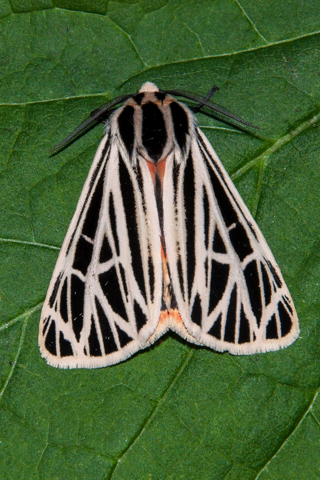 This Virgin Tiger Moth was also attracted to our porch light.  Its range includes most of the United States and southern Canada.   It has a wing span of about 2¼ inches.