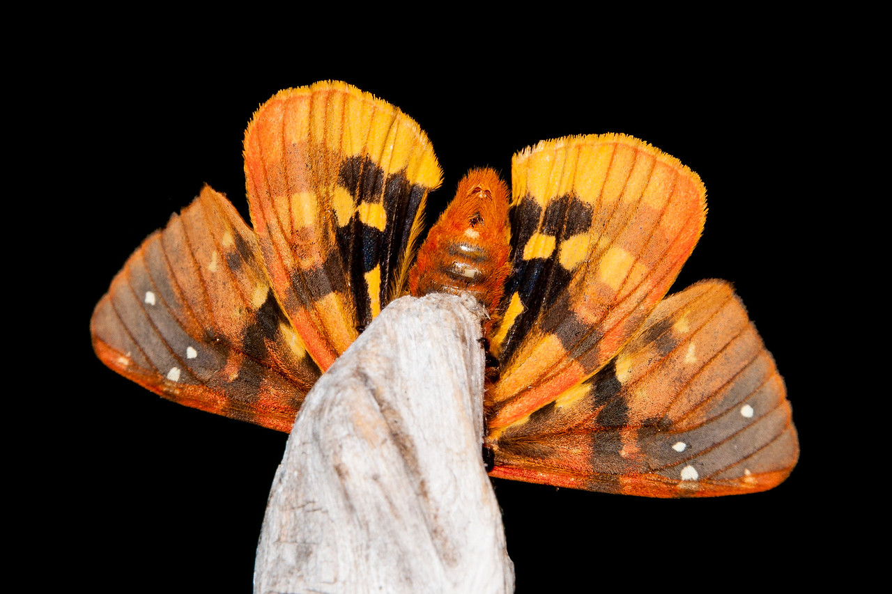 I was really surprised when I turned the piece of wood around and discovered the brightly colored underside of the wings.  I'm going to make a habit of checking the underside of other moths that I photograph in the future.