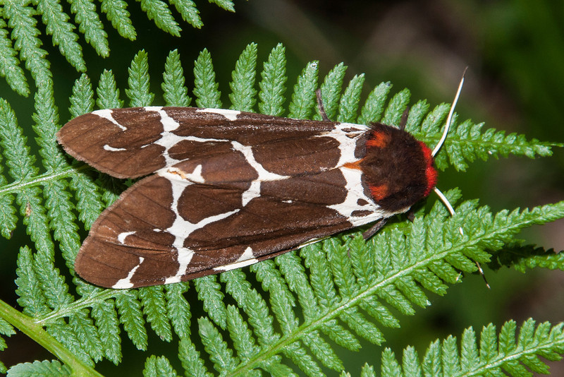 Great Tiger Moths are found across northern Canada and south to Minnesota, Michigan, and New England.  They prefer boreal forests, so northern Minnesota is as far south as you are likely to see them.  They have a wing span of 1½ to 2¾ inches.