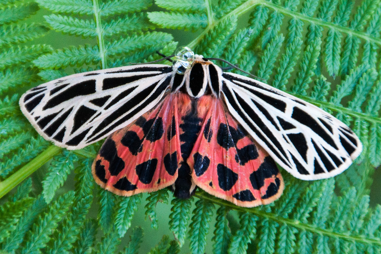 I'm sure you're noticing a pattern among the Tiger moths: brightly colored hind wings with large spots.  This one seems to be producing some frothy bubbles.  I haven't been able to find out if those are toxic.