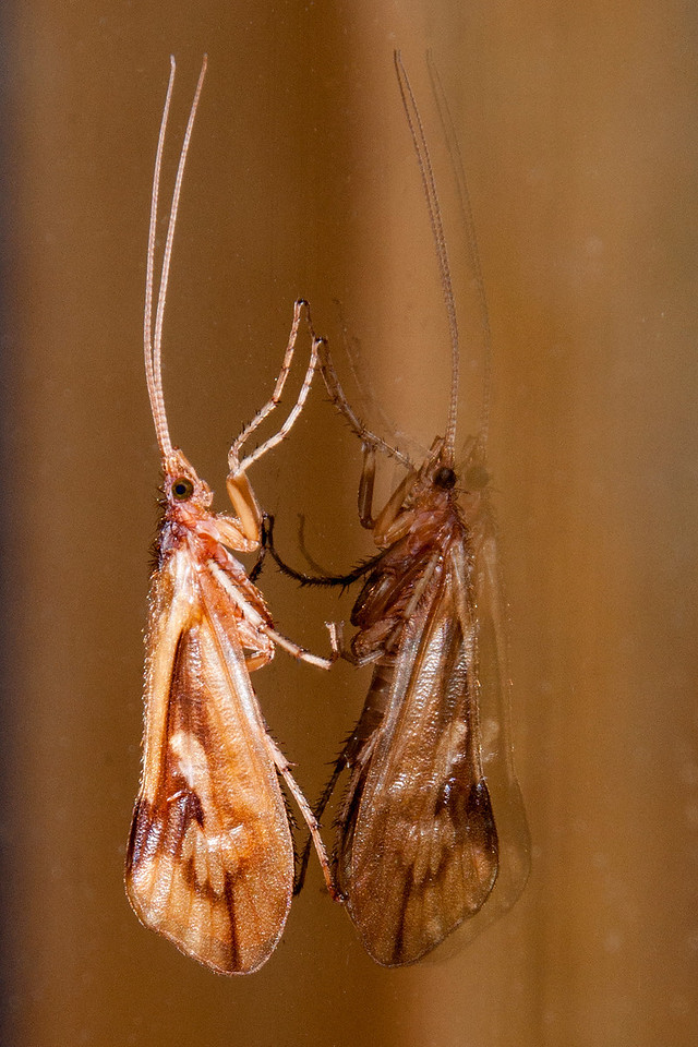 At night, when I'm trying to photograph moths, I sometimes find other insects like this Caddisfly that are attracted to the light.  It landed on a window and this photo was taken with flash.  The reflection is quite sharp but the actual insect is the one on the left.  The website BugGuide.net says there are over 1350 species of Caddisflies in North America.  Many of them are so similar that it is very difficult to identify them from a photo.  I had a Caddisfly expert offer to identify my specimens if I would capture them and send them to him.  That was a very nice offer, but I think I'm going to be happy just calling them Caddisflies.