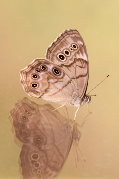 This Northern Pearly-eye butterfly landed on the porch window at our northern Minnesota home.  The reflection of the butterfly and the background were so dramatic that I just had to take this photo.  It has a wingspan of about 2 inches and prefers wooded areas in the northern United States and southern Canada.