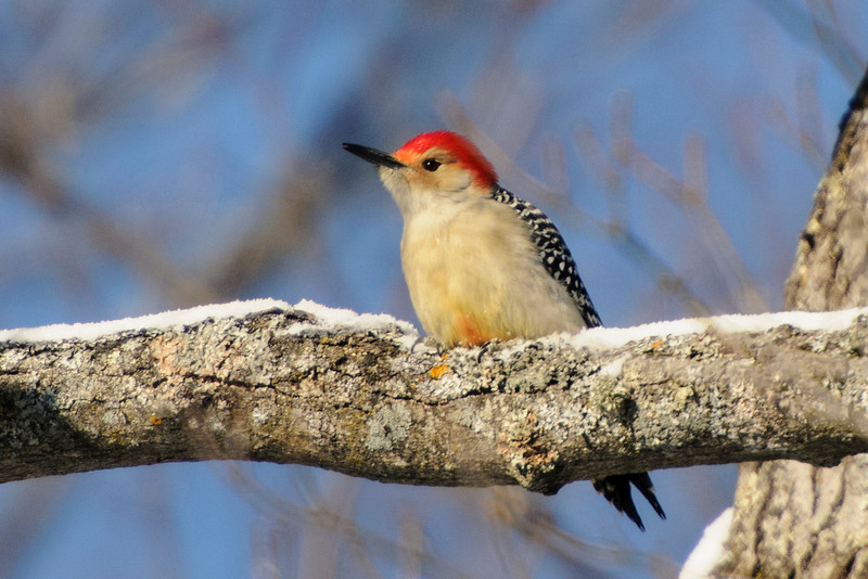 In the same area I found a Red-bellied Woodpecker.  My photo shows that this bird is not misnamed; it actually does have red on its belly.  Because the red feathers on the head go almost down to the bill, this is a male.  A female would have red only on the back of the head, and from the top of her head to her bill she would have tan feathers.