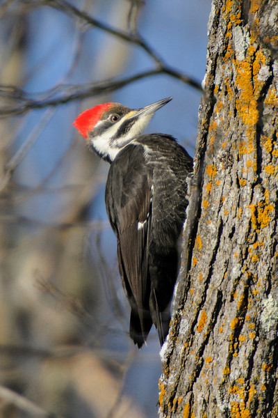 "I was fortunate to find a spot with three Pileated Woodpeckers (one male and two females).  This one has a black ""moustache"" so it's a female; a male would have a red ""moustache."""
