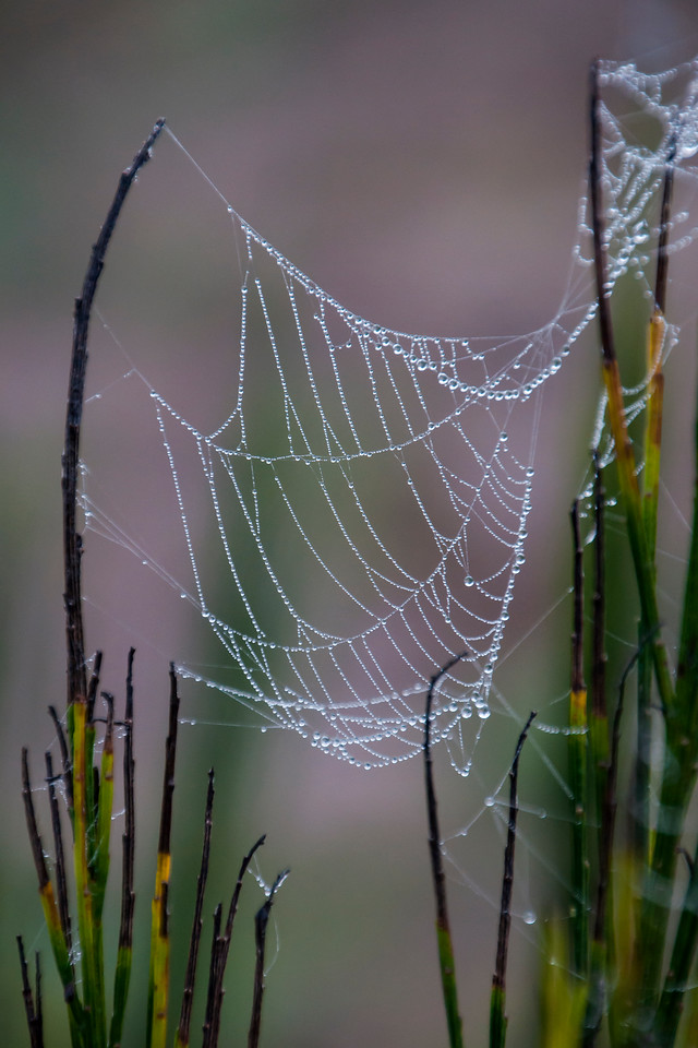 Dew often formed into large drops of water making the webs look like strings of pearls.