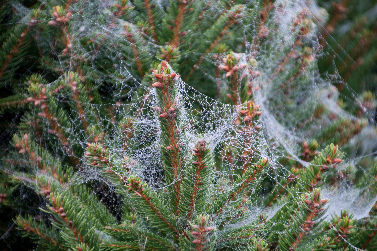 Here's a close-up of the shrub in the previous photo.  There must have been a large number of spiders working on it.