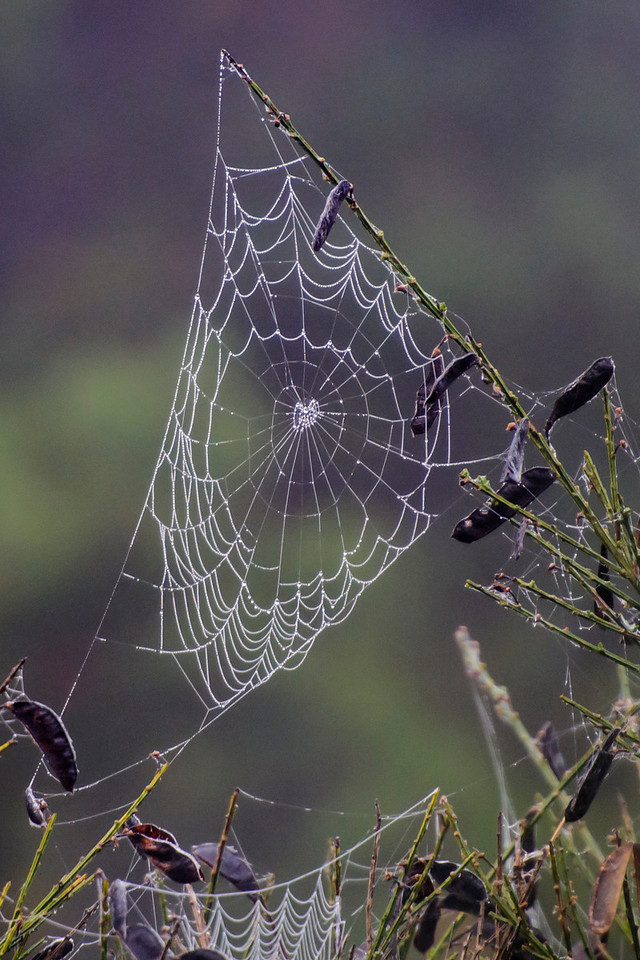 This web looks kind of bare in the center.  I wonder if the spider wasn't quite finished building it.  The seed pods do add a nice touch, however.