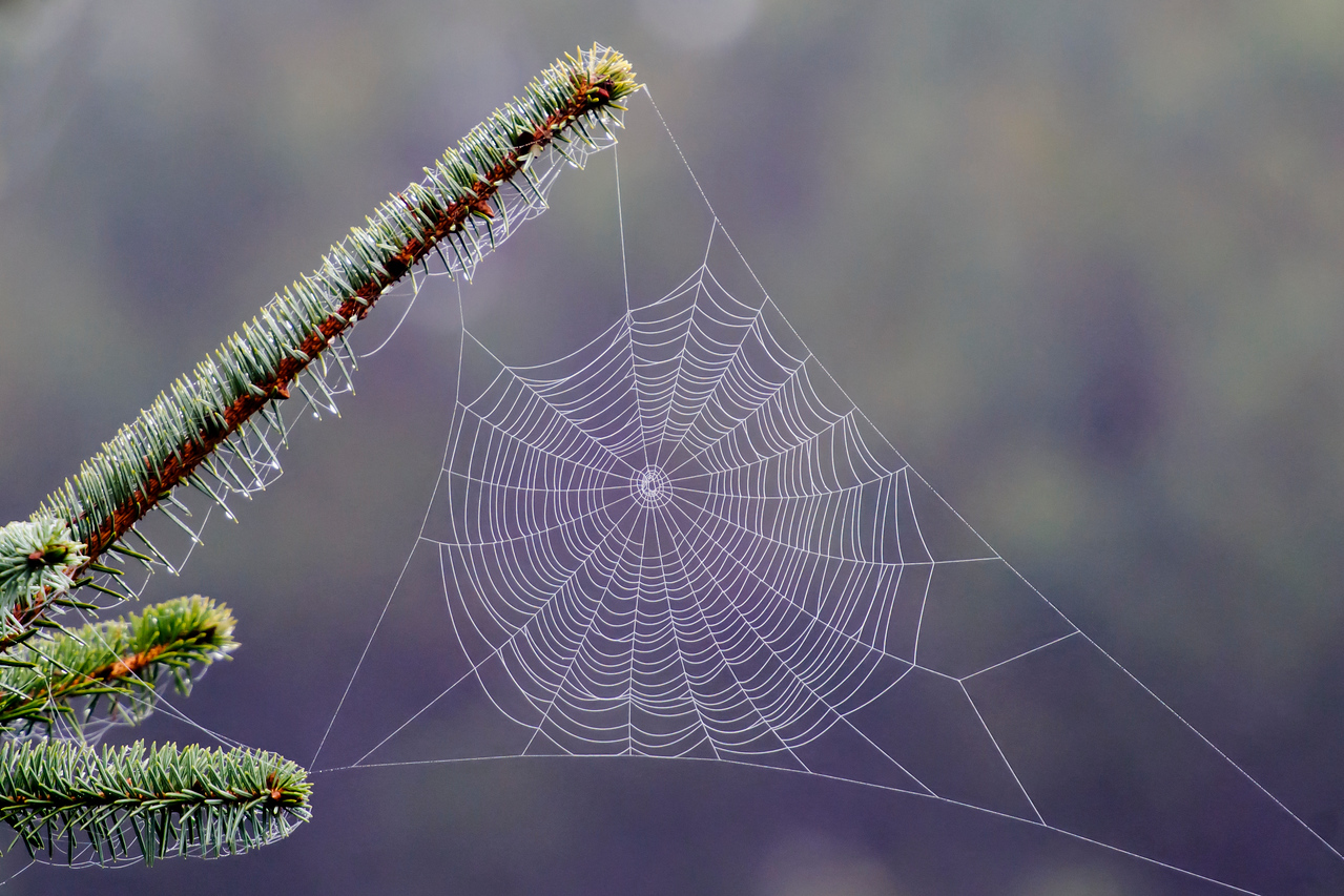 My early morning birding trips along the Oregon coast were often accompanied by heavy dew conditions.  Spider webs, usually invisible, were coated with the dew and became objects of beauty when the light from the sun was in just the right position.