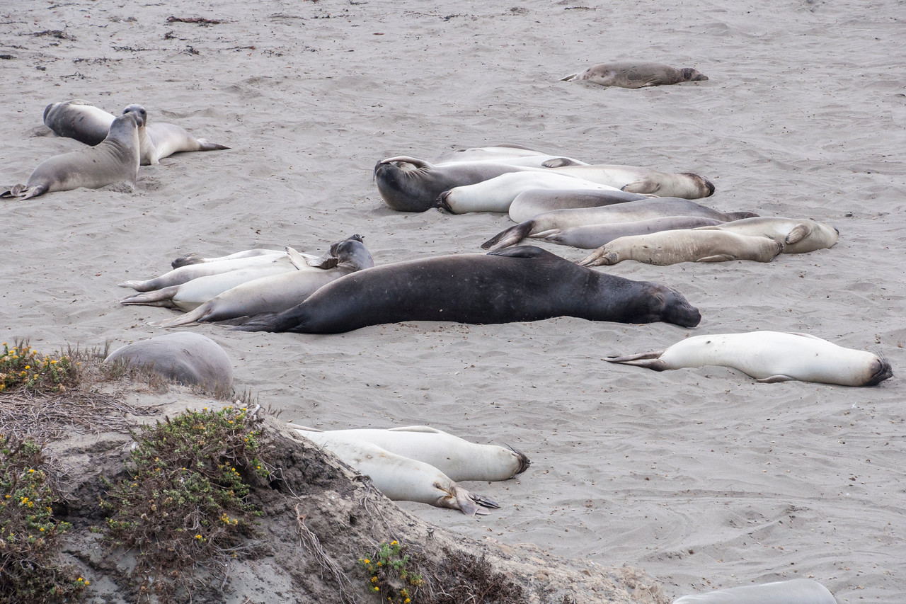 The larger, darker seal in the middle is a sub-adult male, about half grown.  Mature males, who arrive later, are 14 to 16 feet long and weigh 3000 to 5000 pounds.  They will each defend an area of the beach and attempt to attract a large harem of females.  Sub-adult males will be out of luck until they reach maturity.