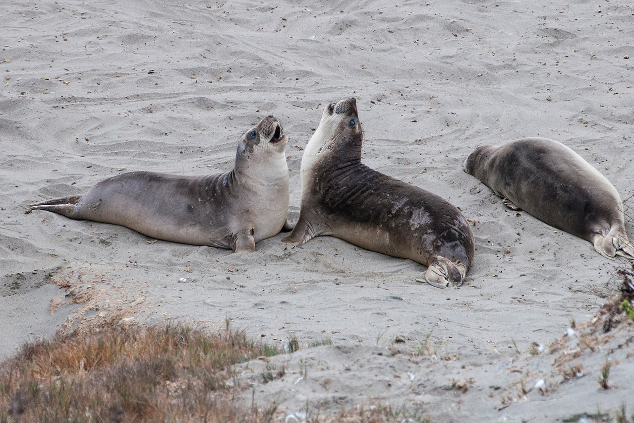 "Here are two young seals ""play fighting.""  It's quite harmless at this stage but fights between mature males can become very bloody as they defend their space on the beach."