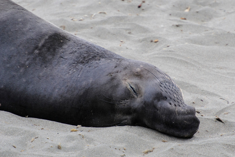 Here's a close-up of the male in the previous photo.  He is starting to develop the long snout which looks like an elephant's trunk and gives the seals their name.