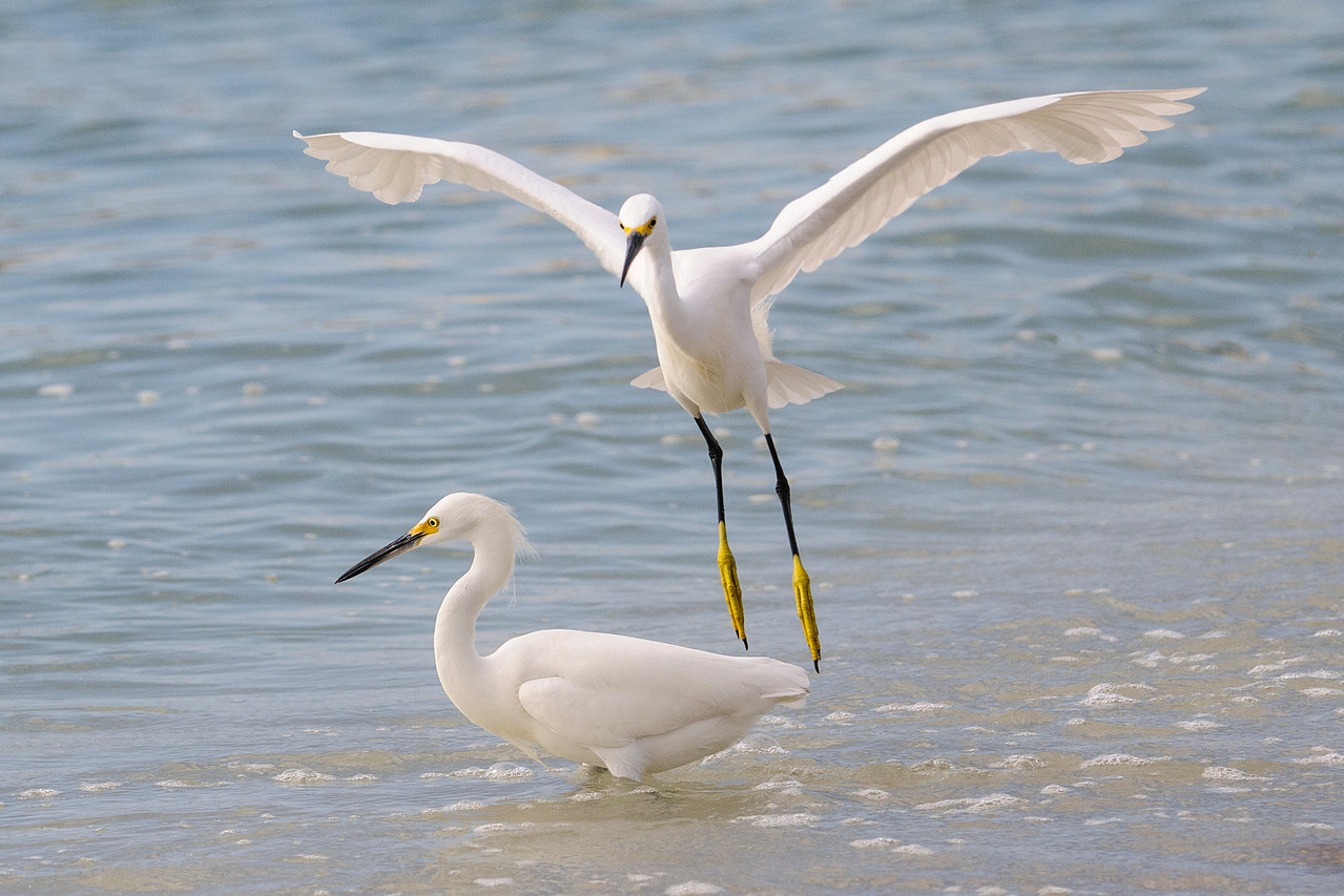 At this egret was taking off, its feet were hanging straight down, making them look unusually long.