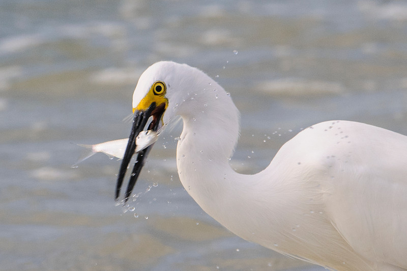 Here's another egret that just caught its lunch.  This time I was lucky to capture some of the water drops thrown off when the bird pulled the fish out of the ocean.