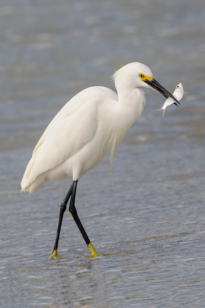 This egret successfully caught a small fish.  I don't know what kind of fish it is, so if you do know, please add a comment below and tell us what the egret caught.