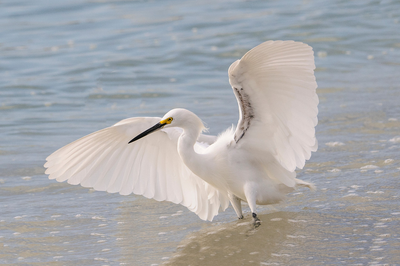 Here's one of the Snowy Egrets ready to strike.  I've never noticed the dark area on the underside of their wings before; perhaps it's just on this particular bird.