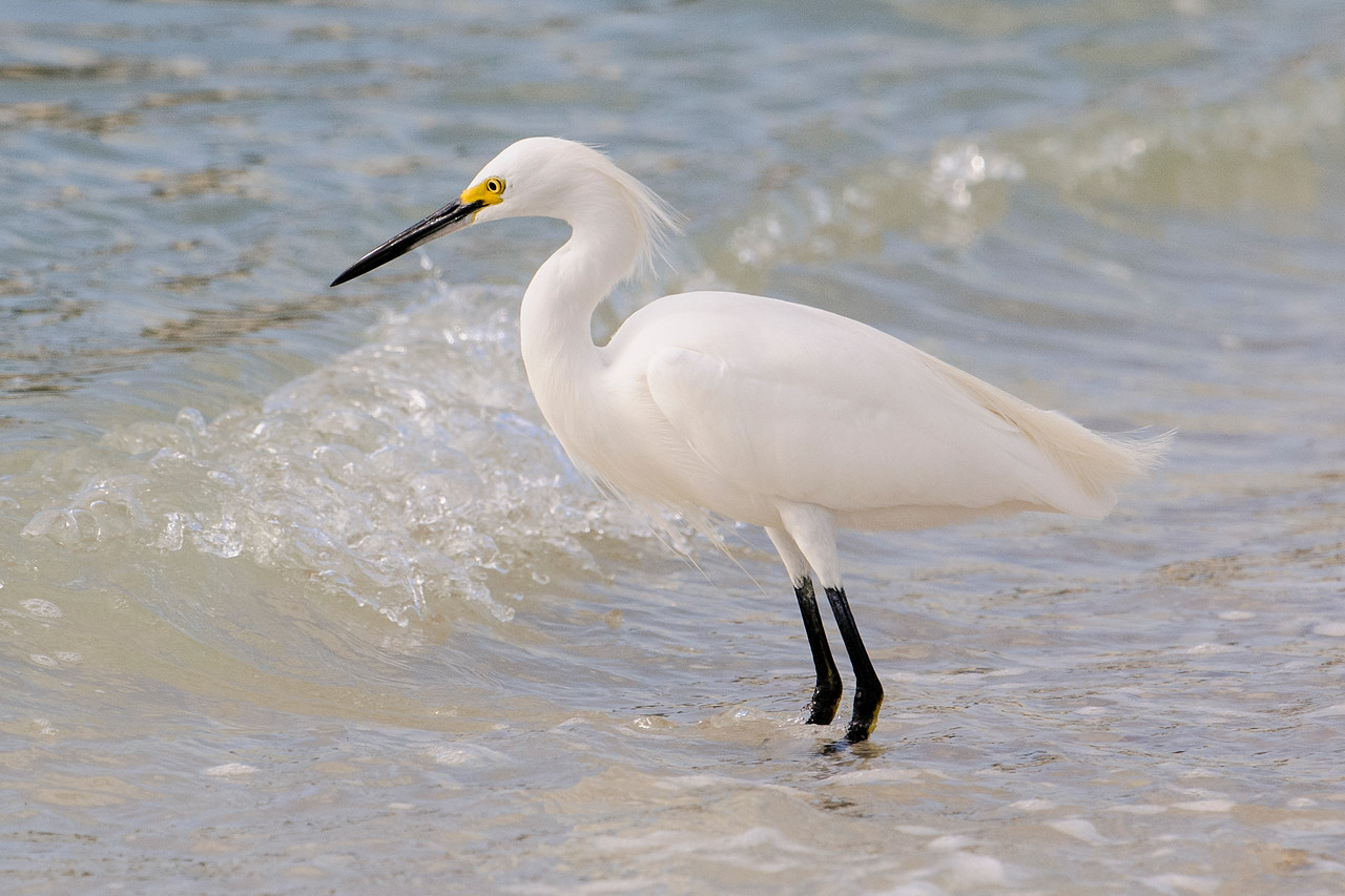 As part of our winter stay in Florida, Diana and I went to Sanibel Island (near Fort Myers) for a week.  One day we were at Blind Pass and a group of Snowy Egrets were fishing along the Gulf Coast.  They stood at the edge of the water and snatched up small fish swimming just off shore.