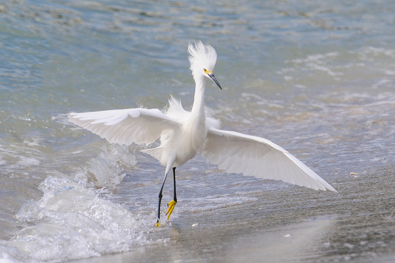 "This egret was chasing another one that got a little too close to its fishing area.  The raised head feathers are part of its aggressive display.  Snowy Egrets are often said to have ""golden slippers"" and this photo shows you why."