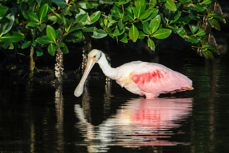This spoonbill is feeding near the mangroves.  The bald head (I can relate to that) and dark red feathers indicate this is an adult bird.  Also note the touches of yellow just ahead of the wing and on the tail and the bright red eye.