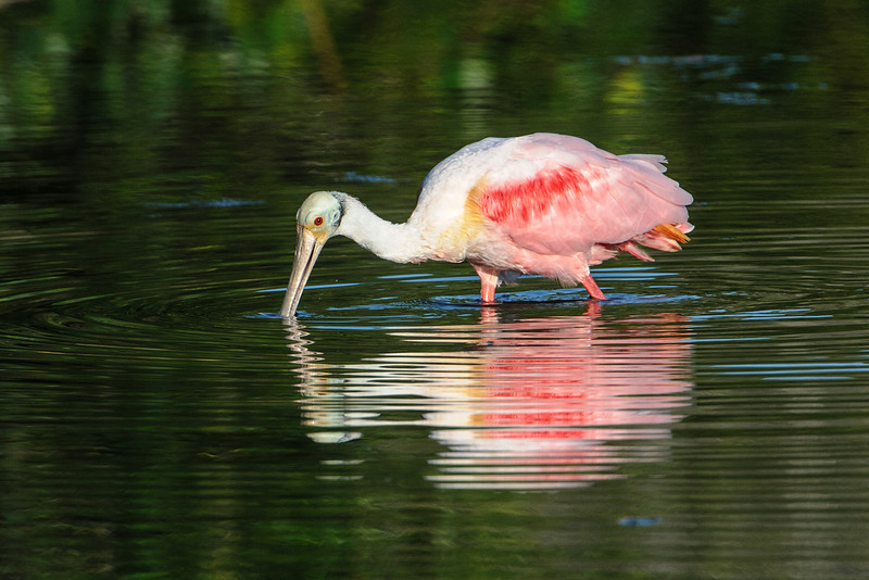 This is how spoonbills feed.  With their bill in the water and slightly open, they move it from side to side.  The bill is very sensitive and as soon as it contacts something, it snaps shut.  This allows them to feed in murky water because they don't need to see their prey.