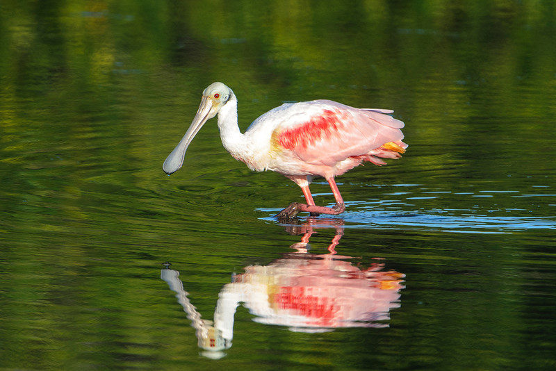 Several times during our stay on Sanibel Island, I drove through Ding Darling National Wildlife Refuge.  The most spectacular birds on the refuge are the beautiful Roseate Spoonbills.  They can sometimes be found feeding in the pools right next to the wildlife drive.  At 2½ feet tall, they are fairly large birds.