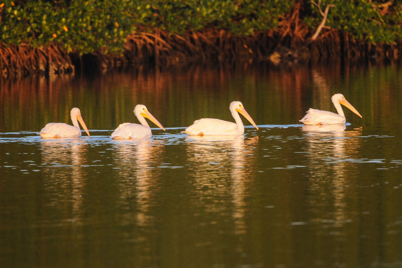 These four pelicans are shown in the early morning light, swimming near the mangroves.