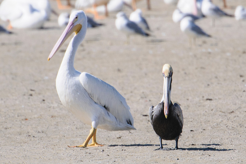 Compared to most birds, the Brown Pelican, on the right, is quite large.  However, it looks small when standing next to a White Pelican, which is almost twice as heavy.  I think the posture of the two birds is exaggerating the height difference because the Brown Pelican is 48-50 inches tall and the White Pelican is 60-63 inches tall.