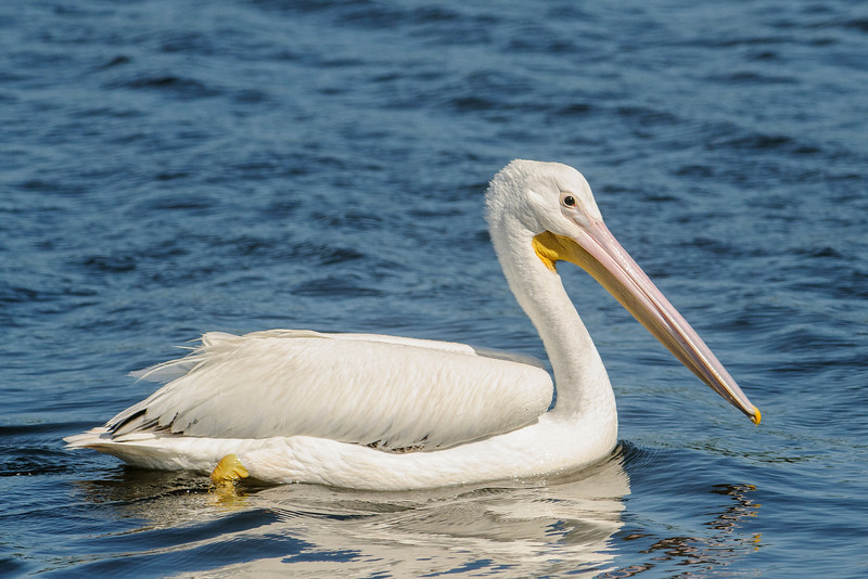 At Ding Darling NWR, on Sanibel Island, FL, we saw several large flocks of American White Pelicans.  During the winter, they migrate to our southern ocean coasts.  However, many people are surprised to learn that these birds nest inland, in central Canada and the western United States.  Minnesota is on the eastern edge of their nesting territory and we have several colonies of White Pelicans.  They choose to set up their breeding colonies on small islands so their nests, which are on the ground, are protected from predators.
