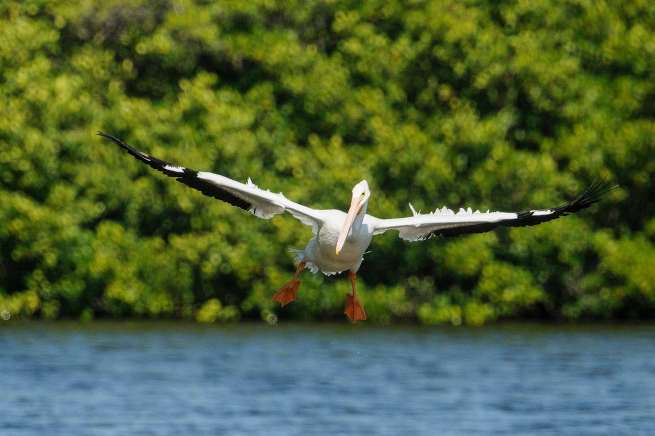 Here's one of the pelicans coming in for a landing.  When they hit the water, they skid along on those huge, webbed feet and it looks like they're waterskiing.